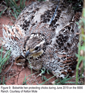 Figure 9: Bobwhite hen protecting chicks during June 2019 on the 6666 Ranch. Courtesy of Kelton Mote